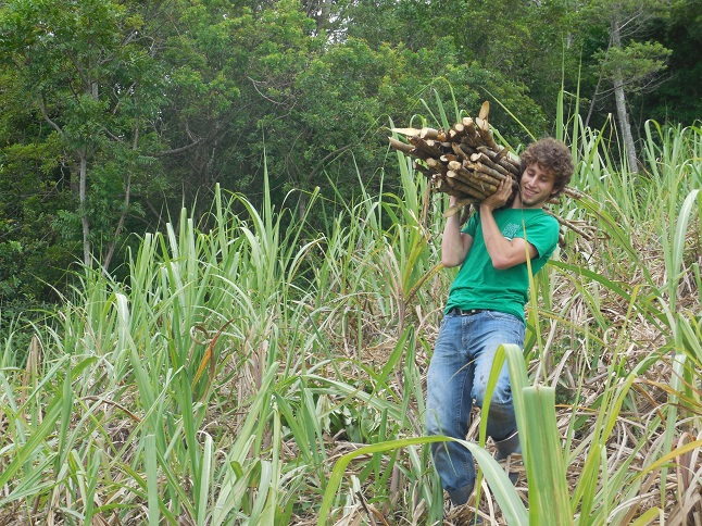 Working with sugar cane